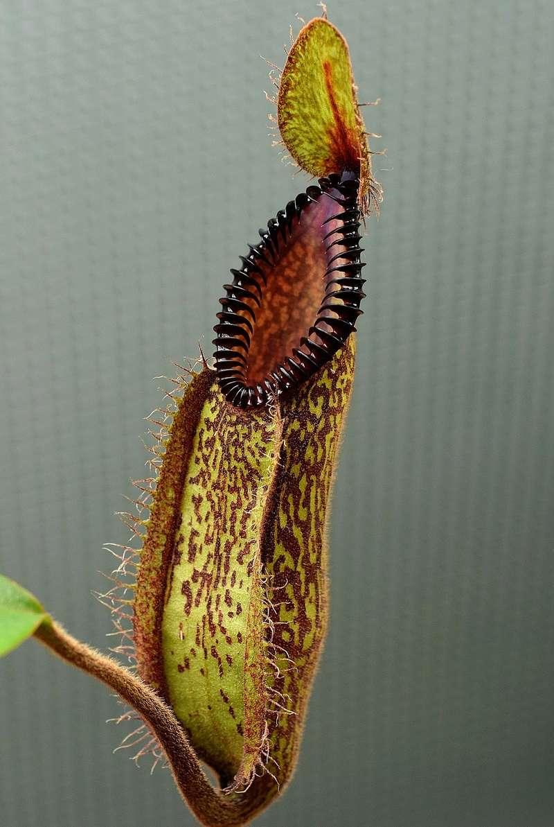 Photos de Nepenthes - Page 2 Hamata11