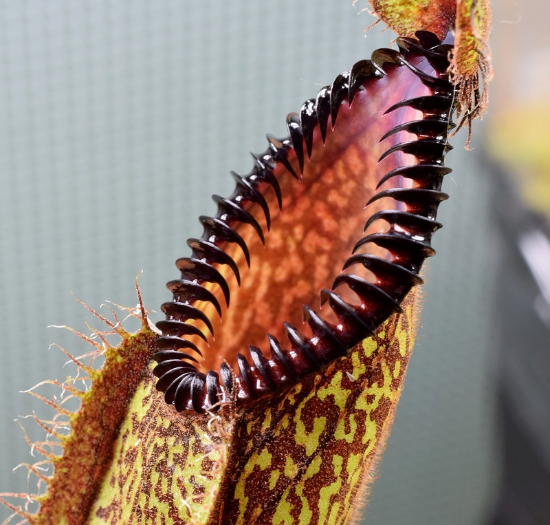 Photos de Nepenthes - Page 2 Hamata12
