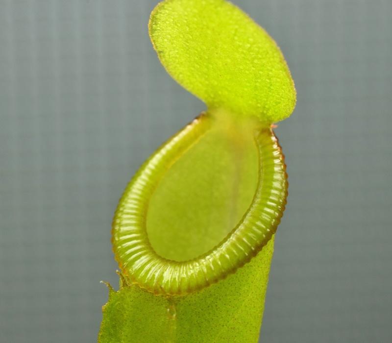 Photos de Nepenthes - Page 2 Inermi12