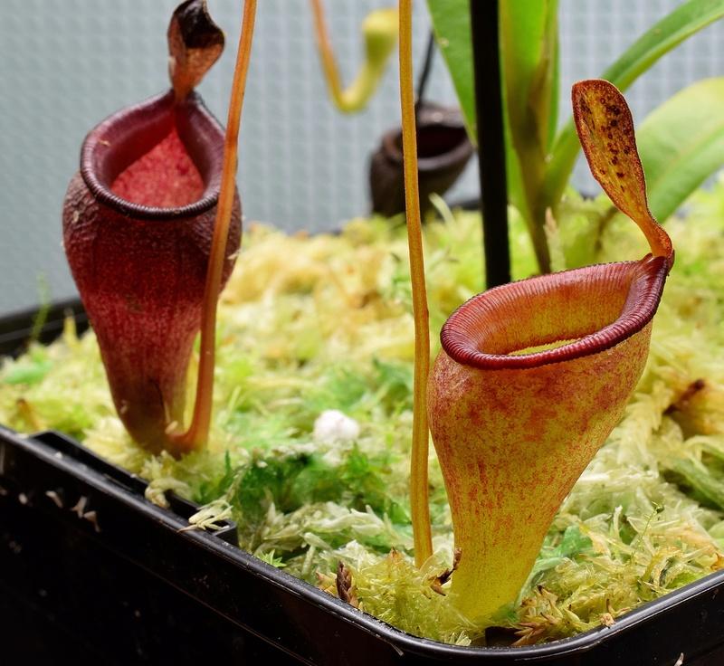 Photos de Nepenthes - Page 2 Jamban10