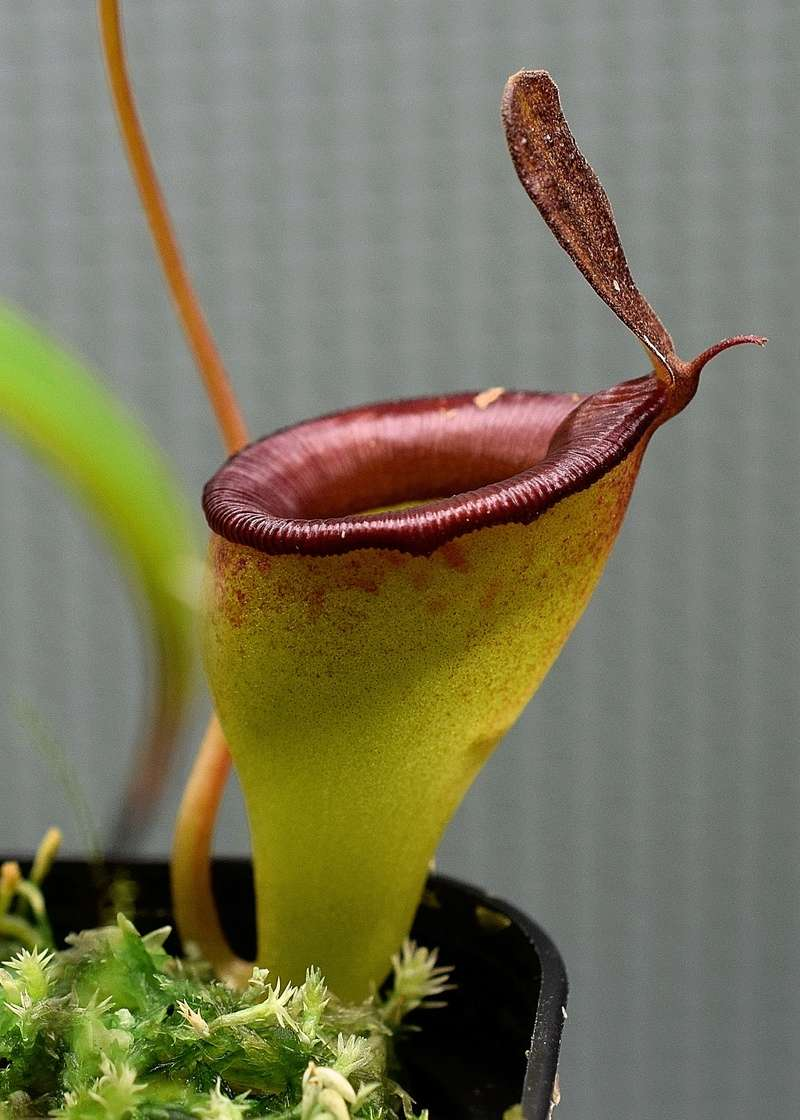 Photos de Nepenthes - Page 2 Jamban11