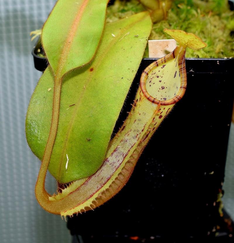 Photos de Nepenthes - Page 2 Platyc10