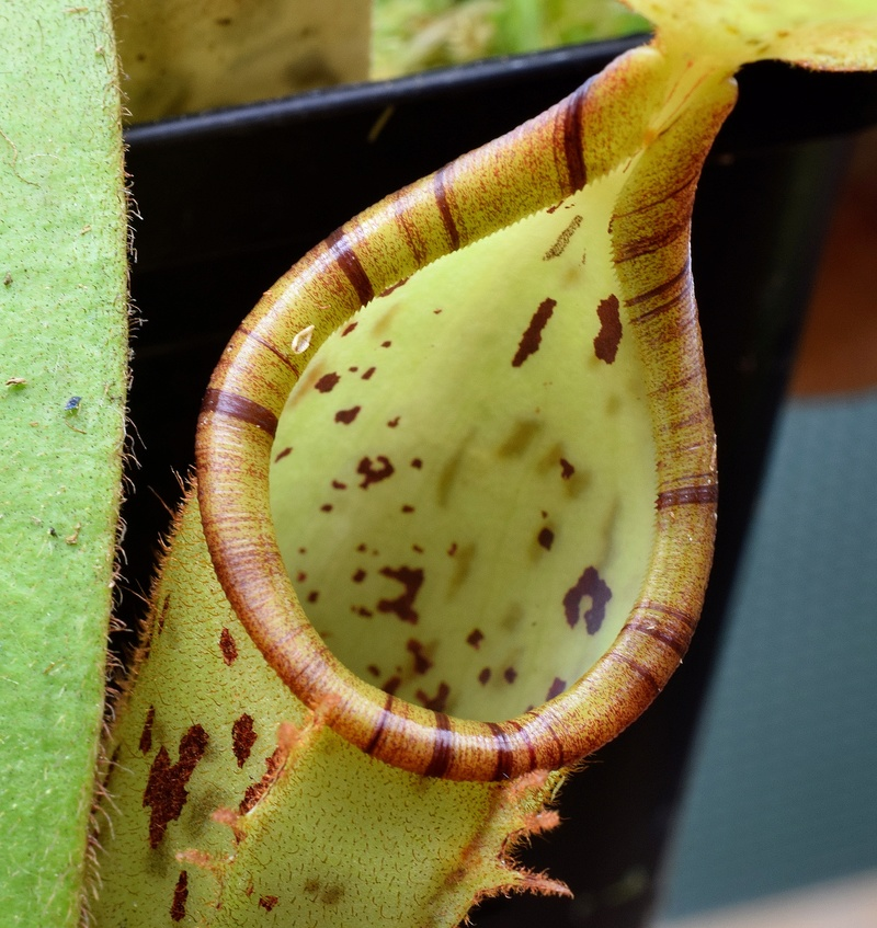 Photos de Nepenthes - Page 2 Platyc11