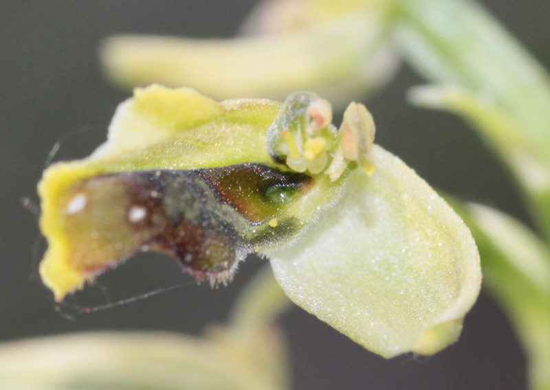 Ophrys araneola avec sépétabelle Lusus310