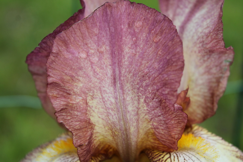 'Dawn Reflection' plicata rose - Natyra [Identification] Img_6211