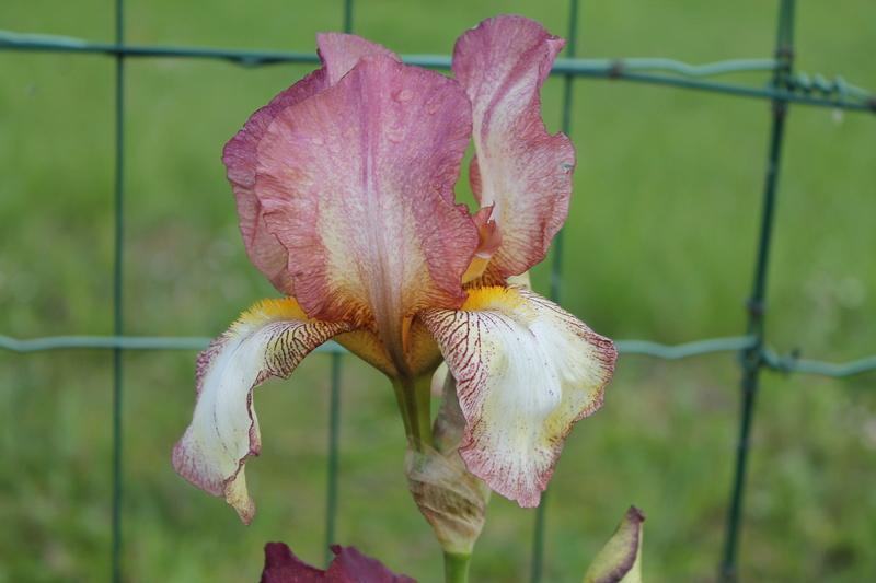 'Dawn Reflection' plicata rose - Natyra [Identification] Img_6212
