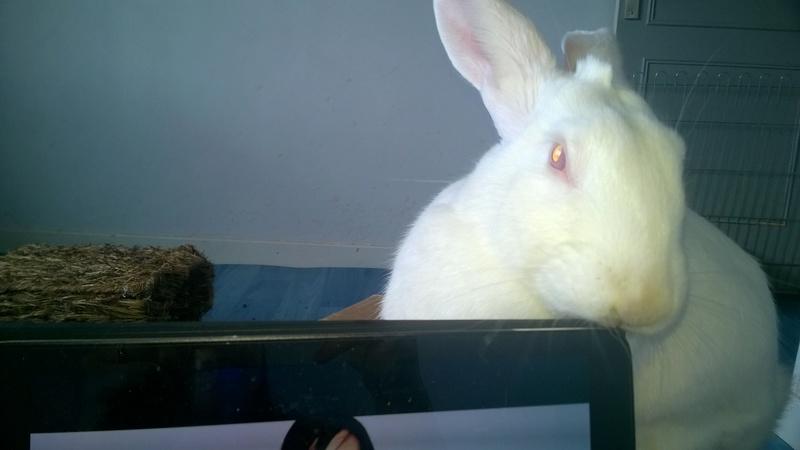 [ADOPTE] Dexter, lapin réhabilité de laboratoire 45908510