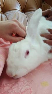 [ADOPTEE] Apple, lapine de laboratoire 47117010