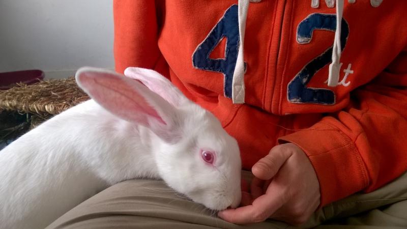 [ADOPTE] Dexter, lapin réhabilité de laboratoire 82954710