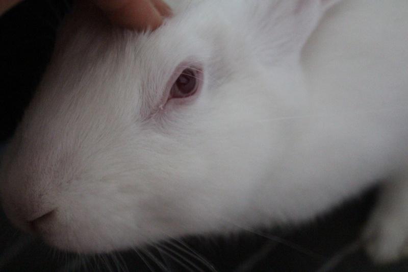 [ADOPTE] Dexter, lapin réhabilité de laboratoire D110