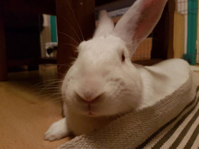 [ADOPTE] Darwin, jeune lapin de laboratoire D111