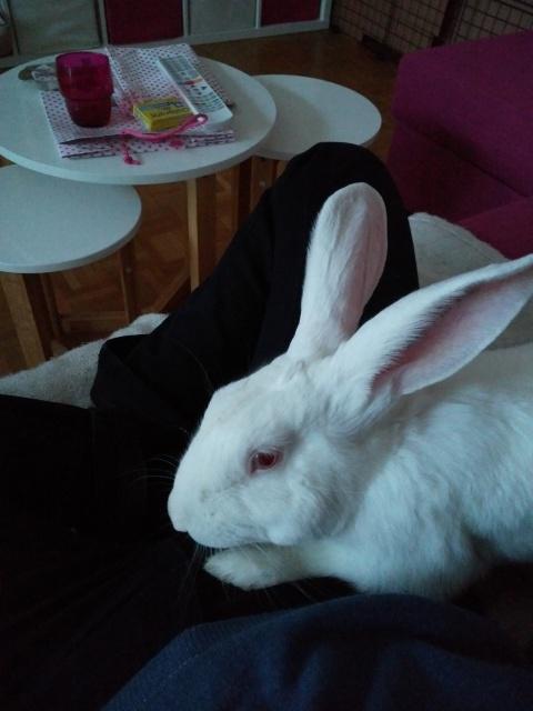 [DECEDE] Django, jeune lapin de laboratoire D112