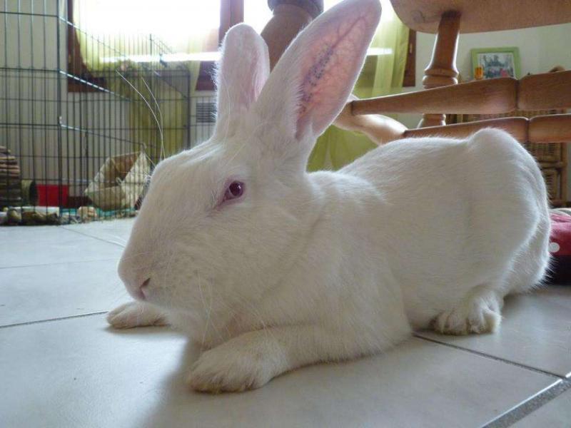 [ADOPTE] Dali, jeune lapin de laboratoire D113