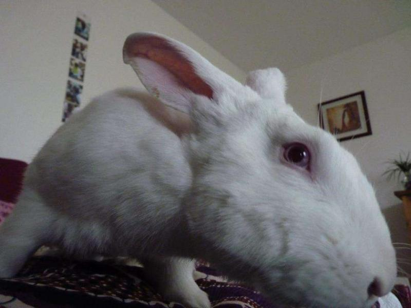 [ADOPTE] Dali, jeune lapin de laboratoire D211
