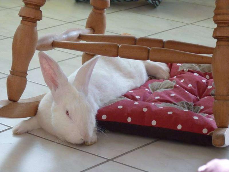 [ADOPTE] Dali, jeune lapin de laboratoire D310