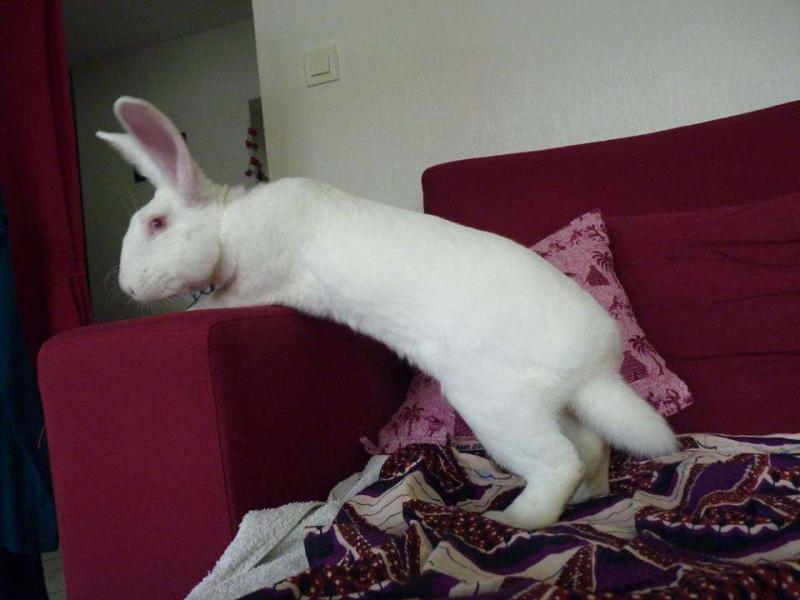 [ADOPTE] Dali, jeune lapin de laboratoire D410
