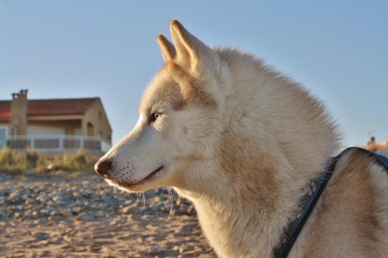 Lo-Jack Alias Ghost (Sibirian husky) - Page 7 Img_5310