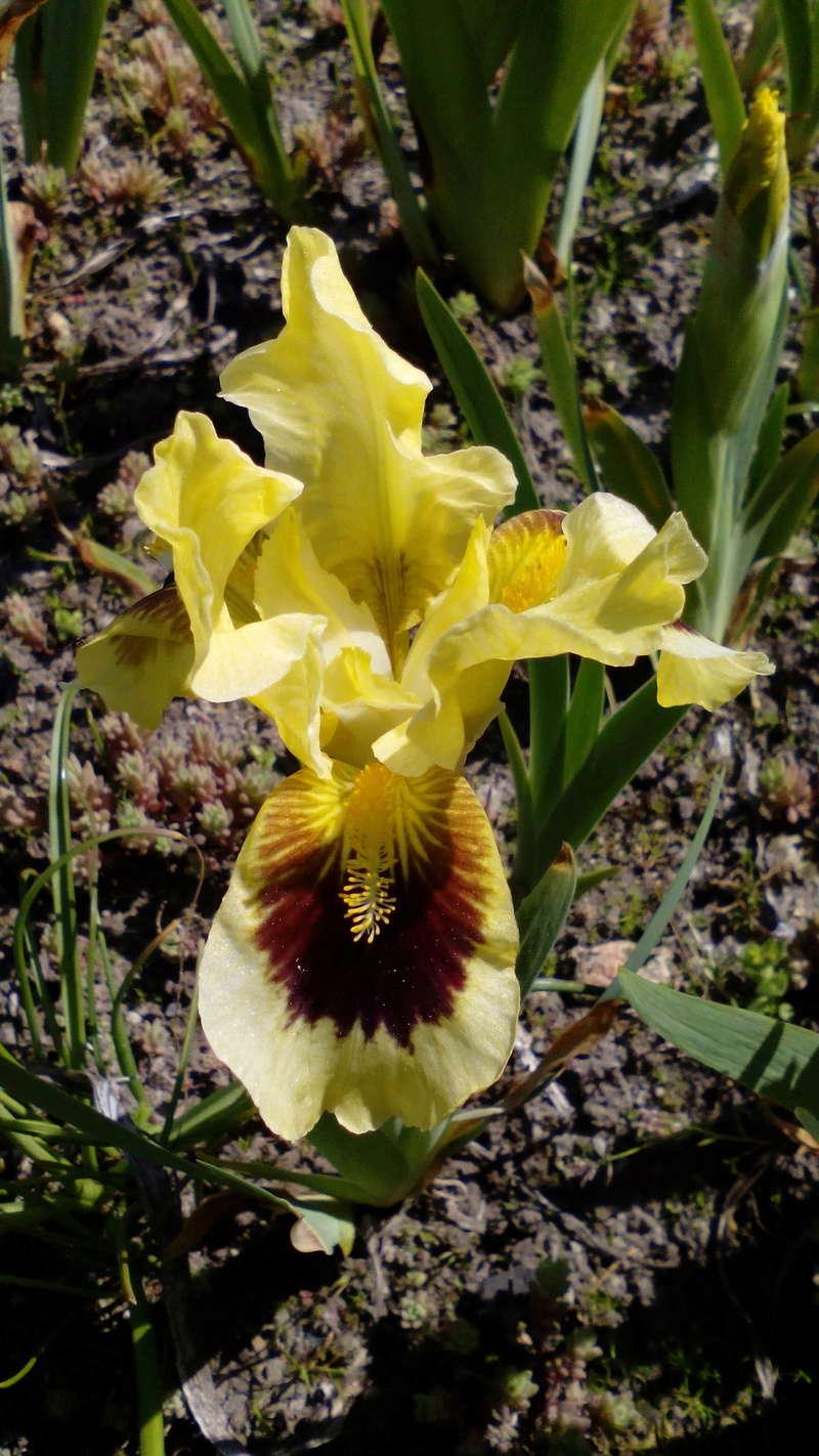 Schwertliliengewächse: Iris, Tigrida, Ixia, Sparaxis, Crocus, Freesia, Montbretie u.v.m. - Seite 15 11_05_10