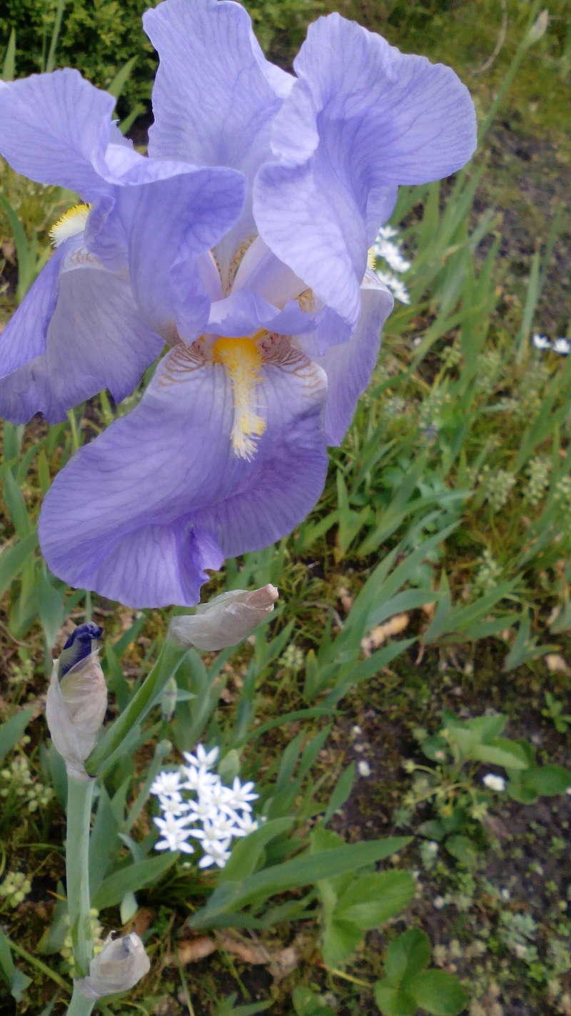 Schwertliliengewächse: Iris, Tigrida, Ixia, Sparaxis, Crocus, Freesia, Montbretie u.v.m. - Seite 16 20_05_10