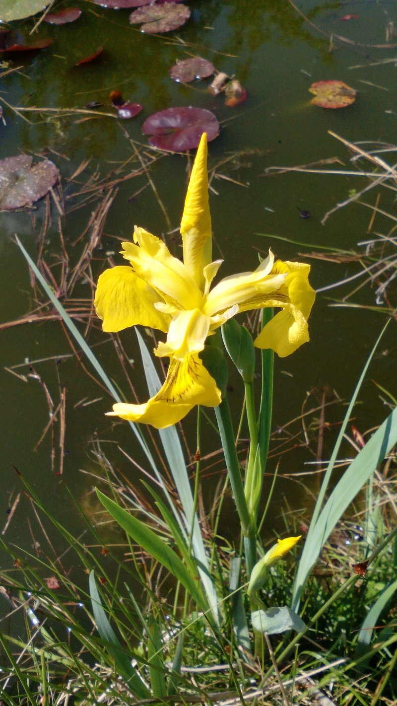 Schwertliliengewächse: Iris, Tigrida, Ixia, Sparaxis, Crocus, Freesia, Montbretie u.v.m. - Seite 16 21_05_13