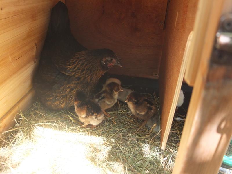 Incubation Ameraucana et Barnevelder (les poussins sont nés ! ) Dscf6614