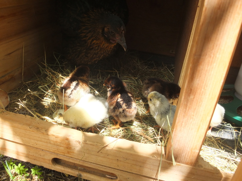 Incubation Ameraucana et Barnevelder (les poussins sont nés ! ) Dscf6622