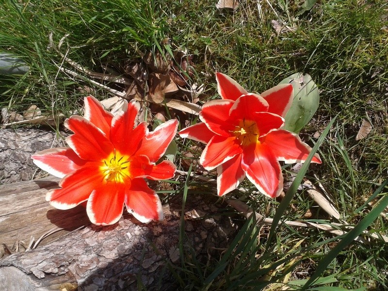 Les tulipes de la mare 20150410