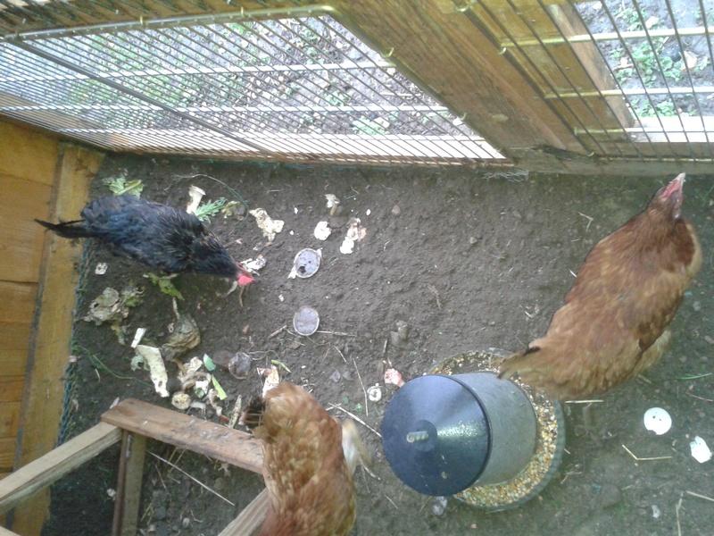 Nos poules sont arrivées!!! 20170310