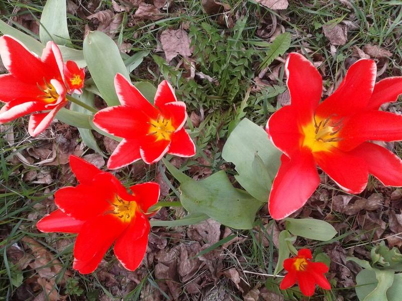 Les tulipes de la mare 20170314