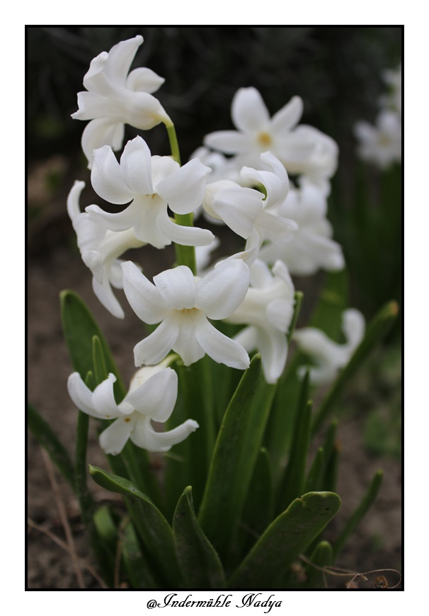 Jacinthe , Hyacinthus - Page 8 Img_3929