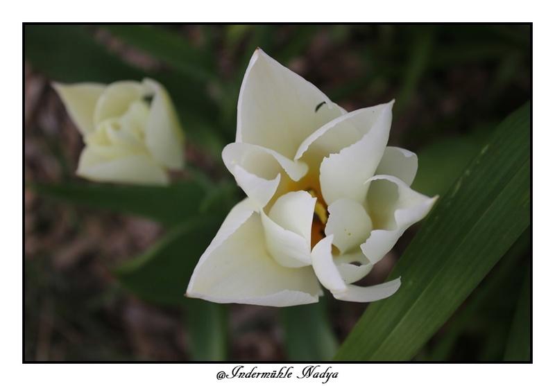 Les tulipes Img_3948