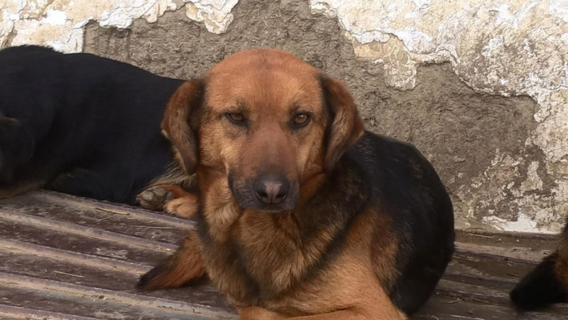 JELLY (ex JERRY) F-X, taille moyenne, env. 20 kg, née 2011 (BACKA) - Prise en charge SPA Pontarlier Jerry310