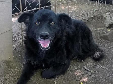 chien89 - SHAMTI, F-Type Mudi, taille moyenne, 15 kg, née 2012 (BACKA) Pris en charge SPA DU 47 Shamti10