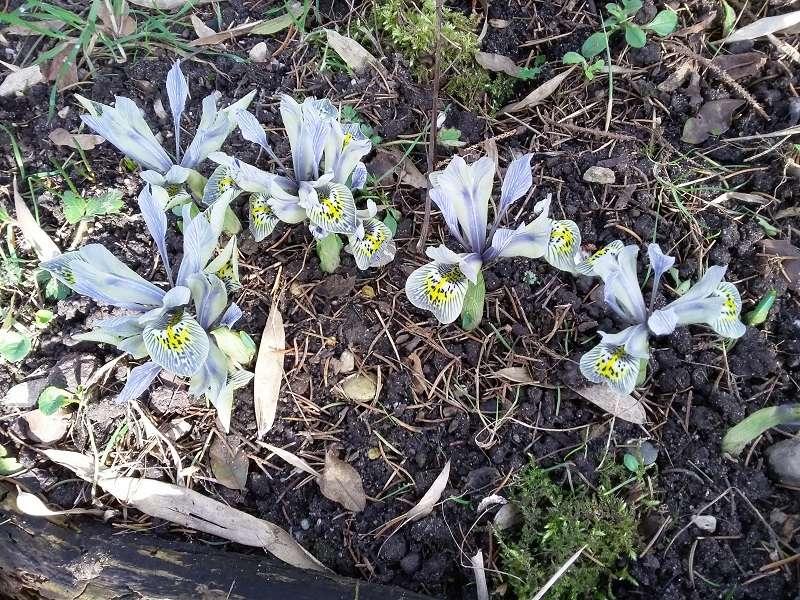 Schwertliliengewächse: Iris, Tigrida, Ixia, Sparaxis, Crocus, Freesia, Montbretie u.v.m. - Seite 14 Iris_c10