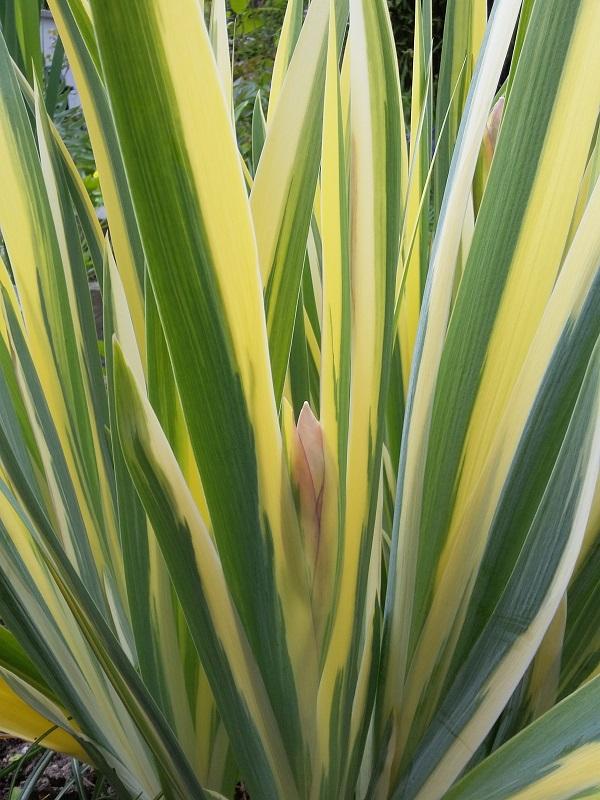 Schwertliliengewächse: Iris, Tigrida, Ixia, Sparaxis, Crocus, Freesia, Montbretie u.v.m. - Seite 15 Iris_p10