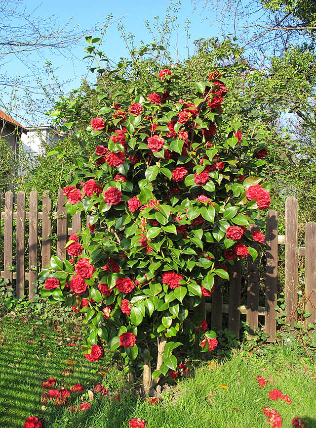 Camellia - Kamelien - Seite 4 G36210