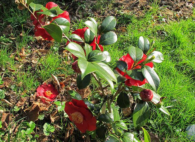 Camellia - Kamelien - Seite 4 G36310