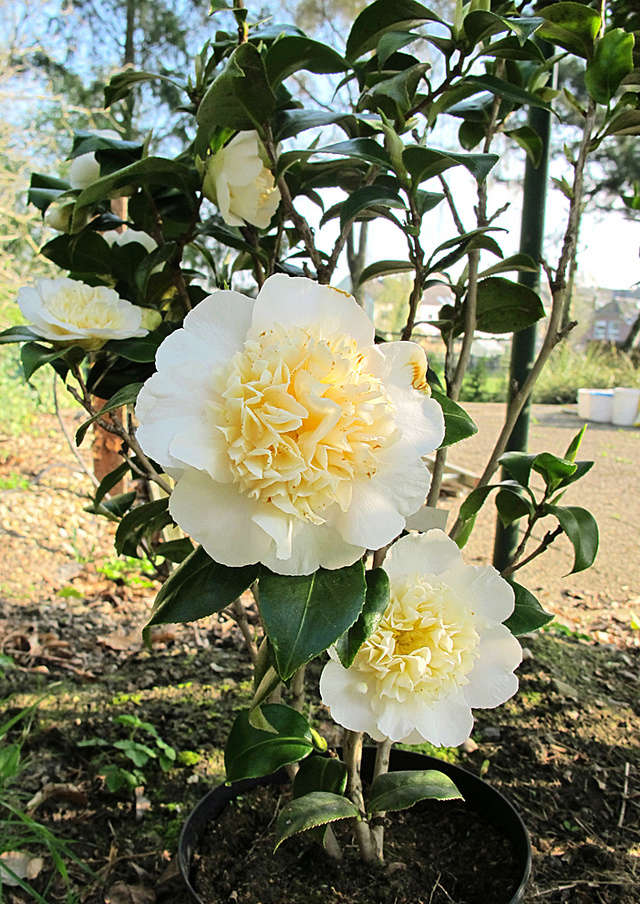 Camellia - Kamelien - Seite 4 G36410