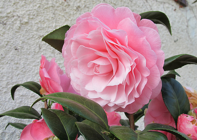 Camellia - Kamelien - Seite 4 G36510