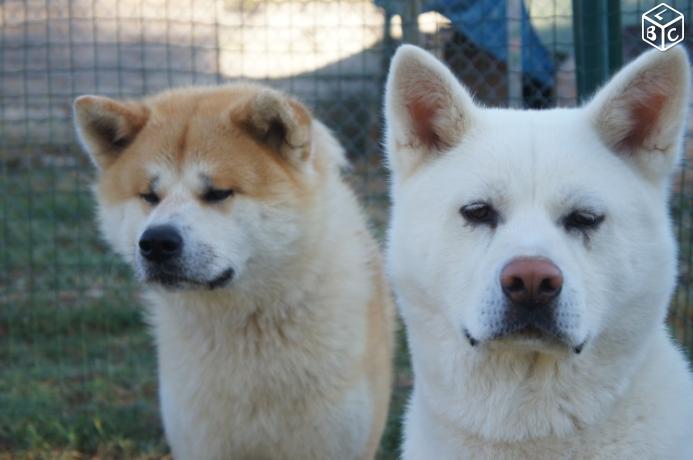 a adopter, deux akita adorables ....... 7caf5d10