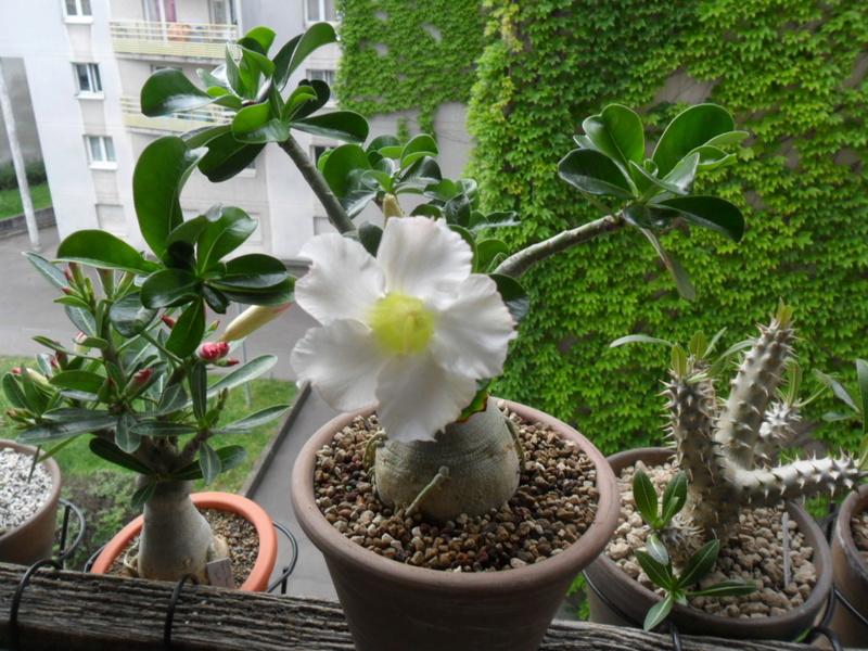 Adenium obesum (divers) et arabicum sur les rebords de fenêtres... - Page 3 Sam_6811