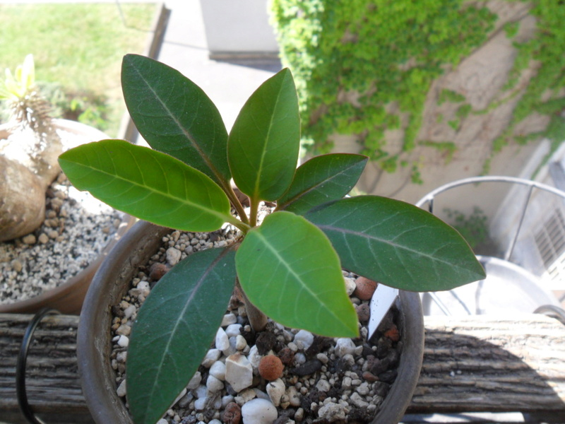 Euphorbia ankarensis - Page 2 Sam_7111