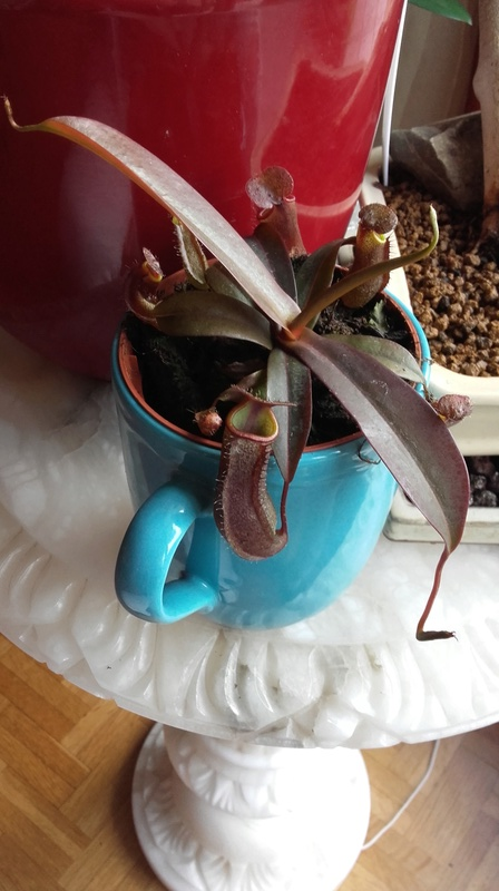 Nepenthes sanguinea 20170428