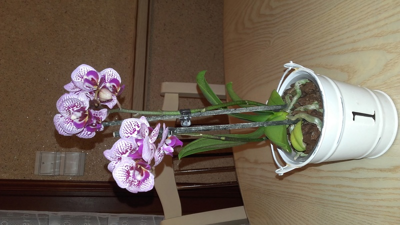 Phalaenopsis ... ? Quel cultivar ?  20170612