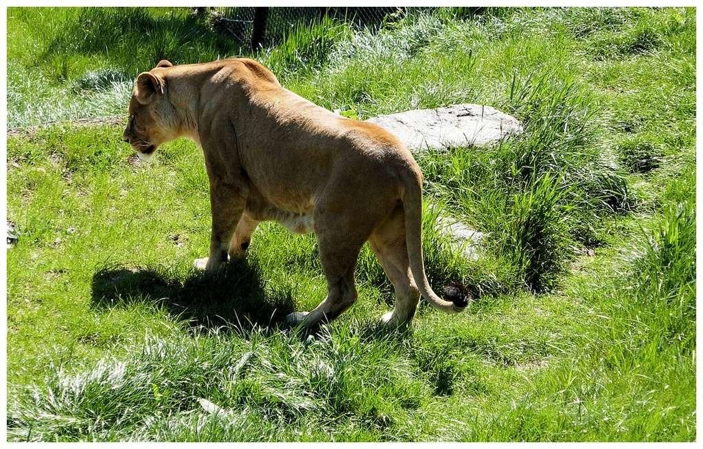 Lions P1010277