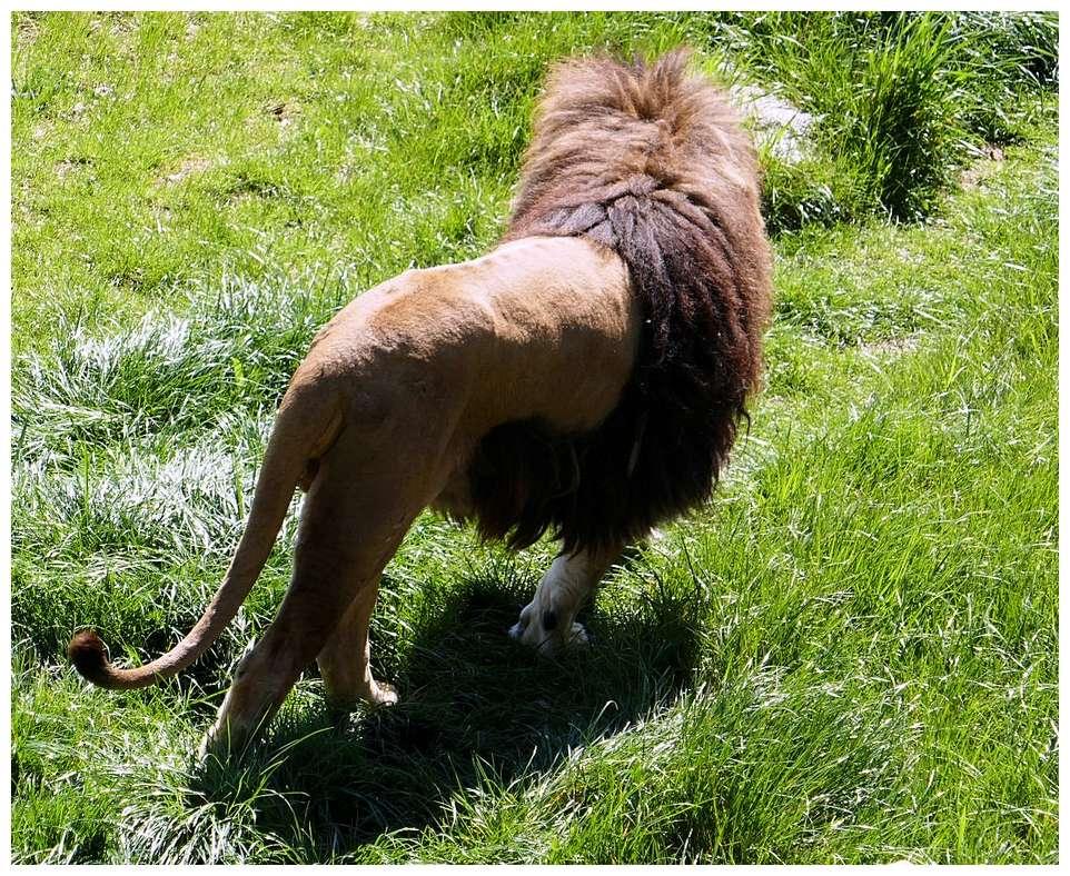 Lions P1010279