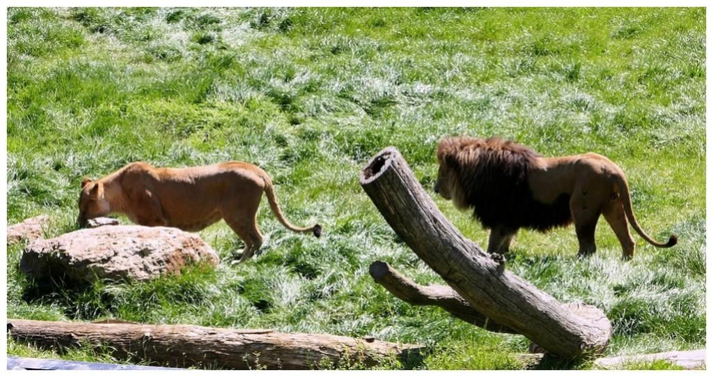 Lions P1010283