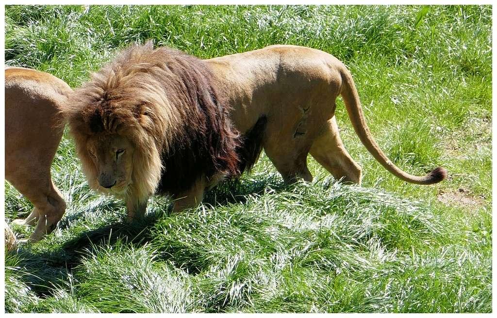 Lions P1010285