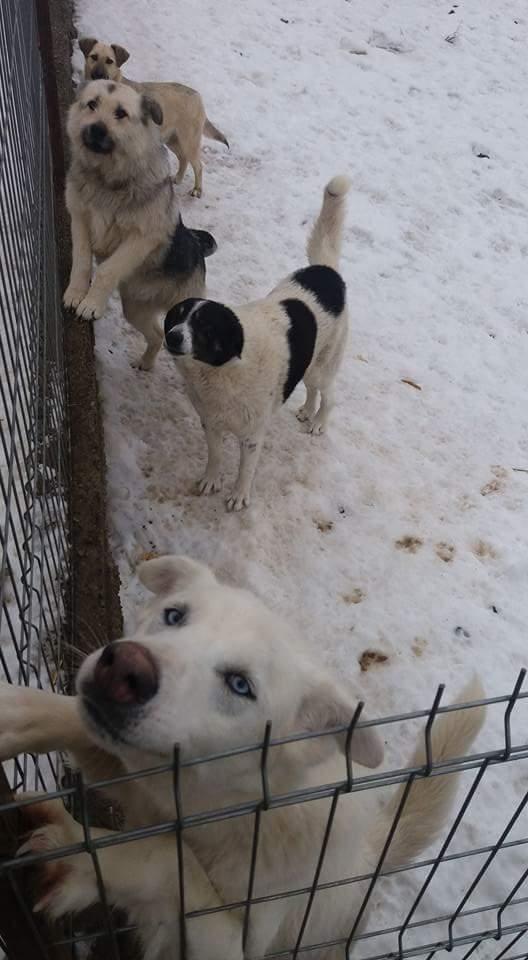 HASCHY, mâle, blanc aux yeux bleus, taille moyenne né env 2014 (Pascani) - adopté en Roumanie - Page 2 Fb_img22
