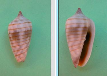 Imbricaria conularis 0310
